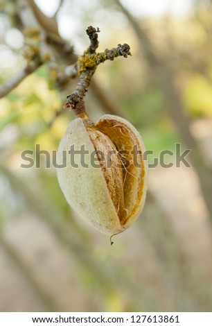Young almond ripening on the tree