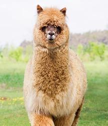 Young alpaca male.