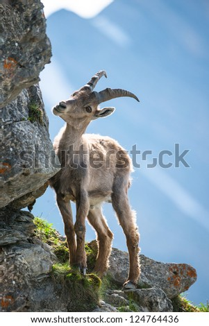 young alpine ibex (lat. Capra ibex) on Brienzer Rothorn, Switzerland