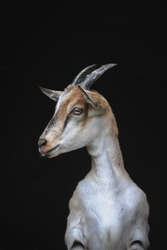 young alpine mountain goat portrait with black background
