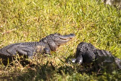 Young American Alligator mississippiensis basking on the side of a pond on a golf course in Florida
