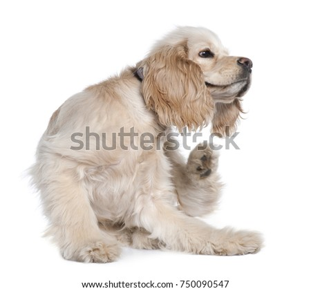 Young American Cocker Spaniel scratching, 9 months old, in front of white background #750090547