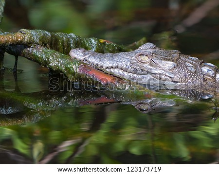Young American crocodile (Crocodylus acutus) in Everglades National Park, Florida.
