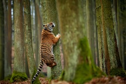 Young Amur tiger (Panthera tigris)  playing in the forest. A large feline beast climbs a tree. Siberian big cat in environment. Tiger in nature forest habitat.