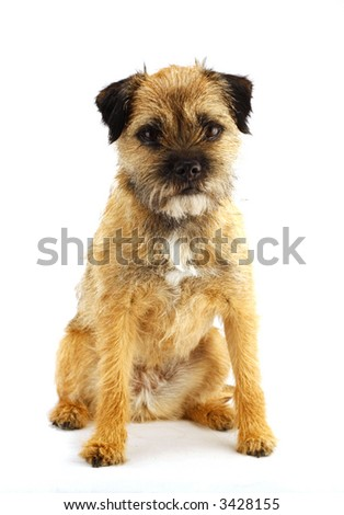 young and active english border terrier #3428155