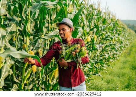young and cheerful modern African American farmer gathers corn cobs. Corn farmer Corn harvest Growing corn Organic Farming