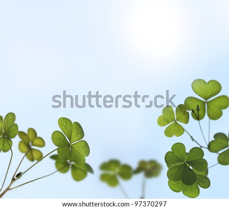Young and fresh clover leaves backlit by sunlight in a garden.