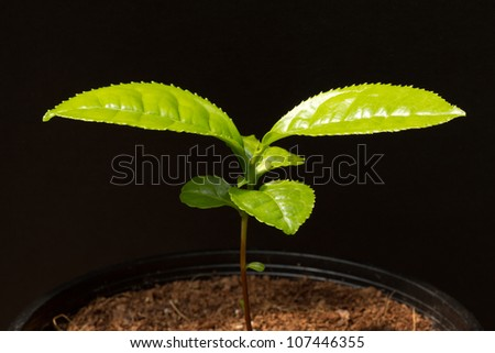 Young And Fresh http://www.shutterstock.com/pic-107446355/stock-photo-young-and-fresh-green-tea-plant-growing-in-pot.html