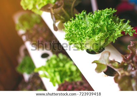 Young and fresh vegetable green color in white tray in hydroponic farm for health market