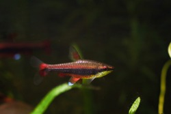 young and healthy adult pencilfish in nature biotope aquarium, Brazilian ornamental blackwater fish from Rio Negro, blurred background image