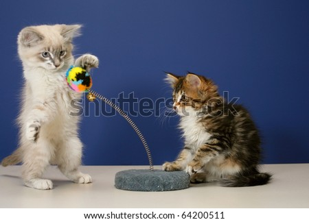Young and playful kittens on tabletop with a blue wall for background
