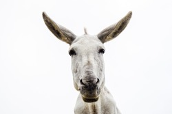 Young and pretty white donkey looks at camera on white background.