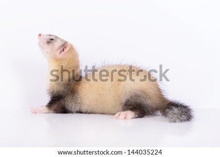 young animal rodent ferret on a white background
