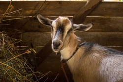 Young Animal Village Goat Curious Looks At Camera In Wooden Barn In Summer Close Up.