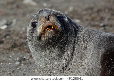 Young Antarctic fur seal, South Shetland Islands, Antarctica