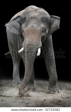 Young Asian elephant eating vegetation over a dark background