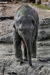 Young asian elephant in its enclosure. Latin name - Elephas maximus
