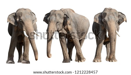Young Asian elephant isolated on whit background with clipping path