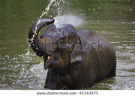 Young Asian Elephant sprays himself with water at the Thai Elephant Conservation Center located in Baan Tung Kwien (near Lampang) in northern Thailand.