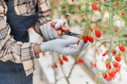 Young Asian woman farmer wearing apron holding shears cutting and harvest ripe Cherry Tomato in greenhouse. Female gardener owner is agriculture picking fresh red tomatoes at garden in organic farm.