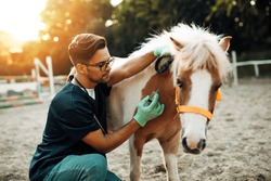 Young attractive male veterinarian giving injection to a small adorable pony horse