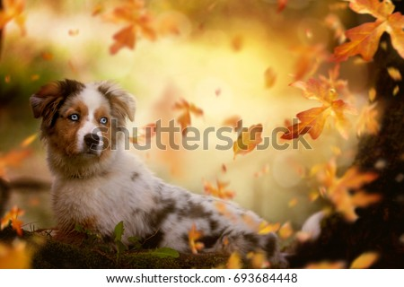 Young Australian Shepherd, lying on tree trunk in autumn vacation #693684448