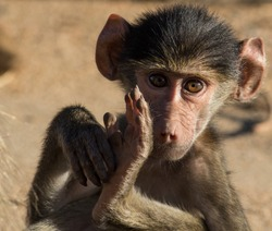 Young Baboon Stare