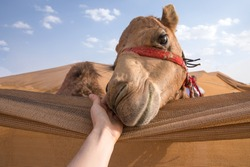 Young baby camel leaning her head over a canvas fence to be petted. Abu Dhabi, UAE.