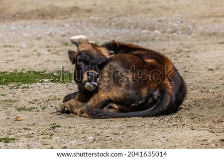 Young baby Heck cattle, Bos primigenius taurus, claimed to resemble the extinct aurochs. Domestic highland cattle seen in a German park Stockfoto ©