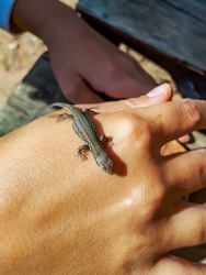 Young baby Viviparous lizard or common lizard (Zootoca vivipara) on child's hand outdoors. Exploring nature