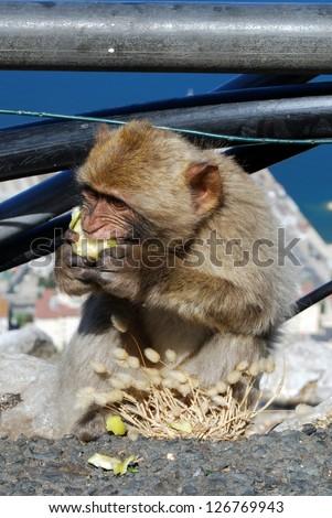 Young Barbary Ape (Macaca Sylvanus) eating an apple, Gibraltar, UK.