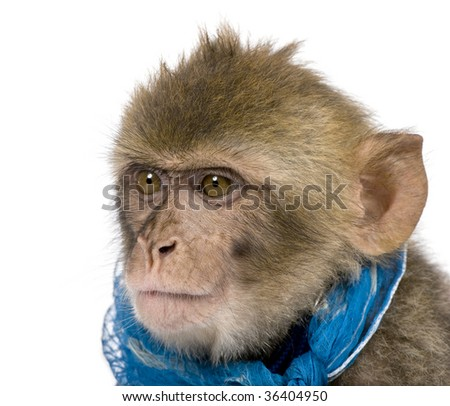 Young Barbary Macaque, Macaca Sylvanus, 1 year old, against white background, studio shot