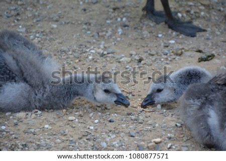 young barnacle geese in the sand (Germany) - Shutterstock ID 1080877571
