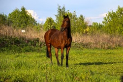 young bay mare walks on a green meadow on a sunny day. A brown slender horse grazes on fresh spring grass in clear weather.