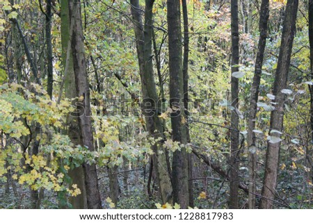 Young beaach trees in the early autumn.