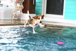 Young beagle dog jumping into the swimming pool