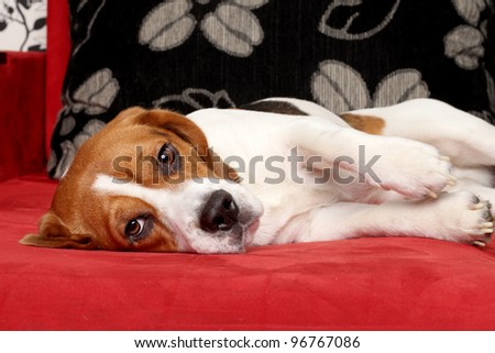 Young Beagle dog lying on red sofa - stock photo