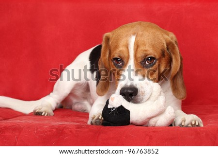 Young Beagle dog posing on red sofa
