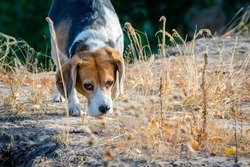 Young beagle dog sniff out among yellow grass in autumn