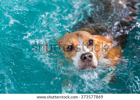 Young beagle dog swimming in the pool #373577869