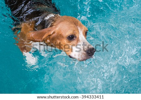 Young beagle dog swimming in the pool #394333411