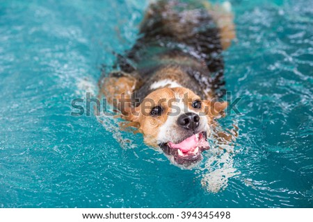 Young beagle dog swimming in the pool #394345498