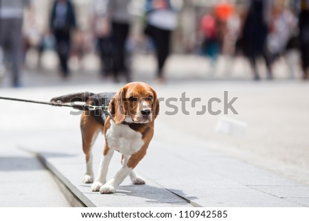 young Beagle in the city