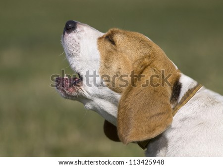 Young beagle male howling