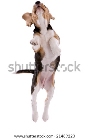 Young beagle puppy jumping high on white background - stock photo