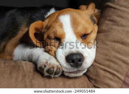 Young beagle sleep on pillow. #249051484