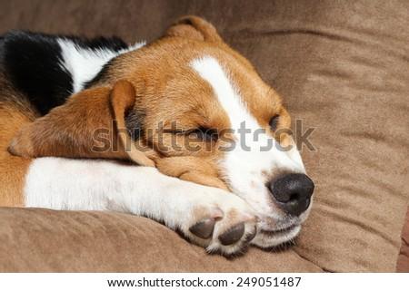 Young beagle sleep on pillow. #249051487