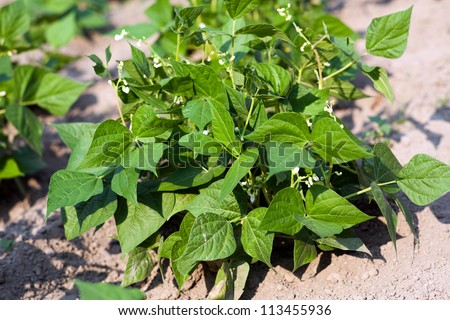 Young bean plant with flowers in the garden