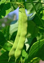 Young bean pod