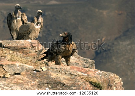 Young Bearded Vulture and a pair of Cape Vultures, South Africa